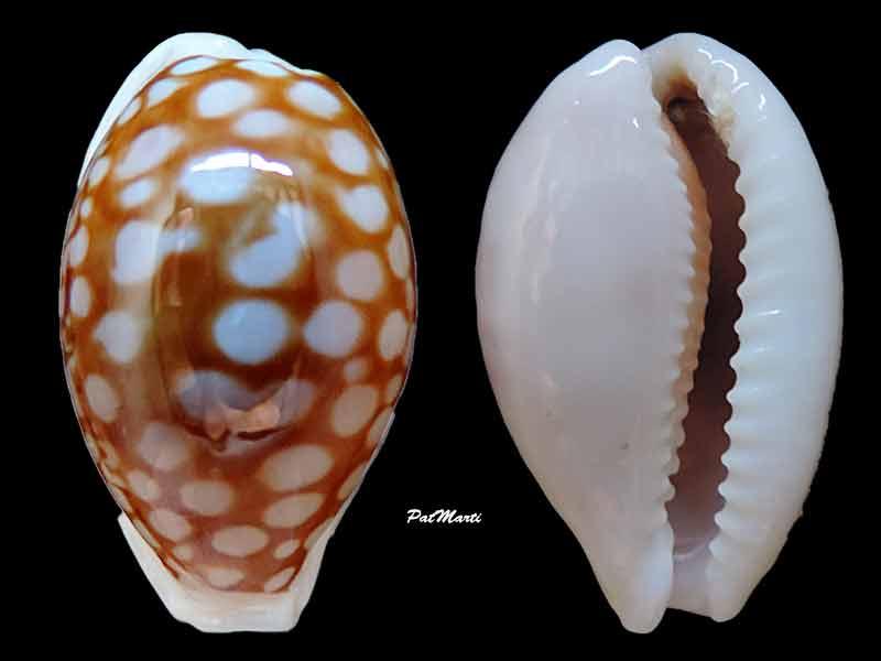 Cribrarula gravida - Moretzsohn, 2002 Cyp-gr11