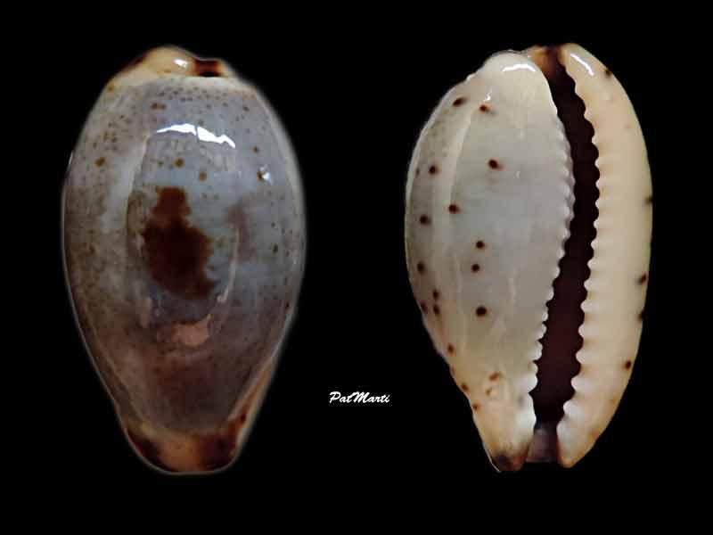 Purpuradusta gracilis macula - (Angas, 1867) Cyp-gr12
