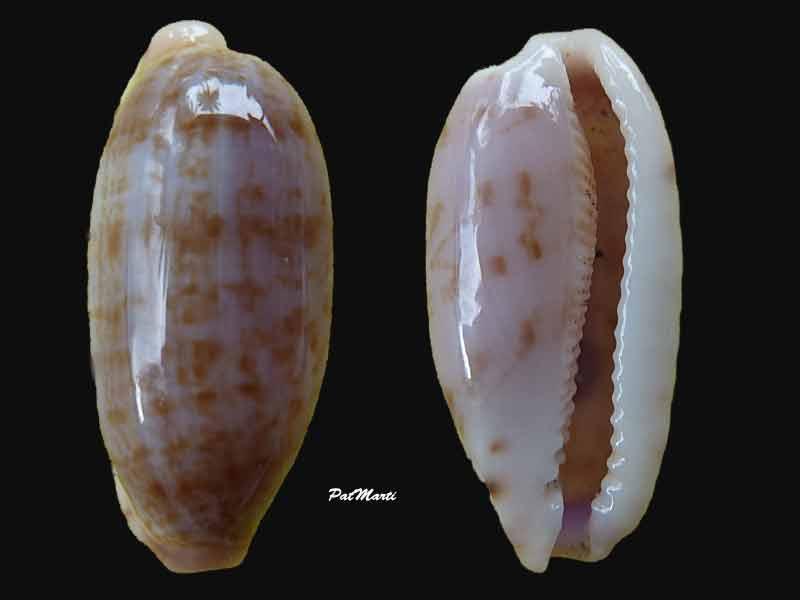 Talostolida violacincta - (Lorenz, 2002) Cyp-su11