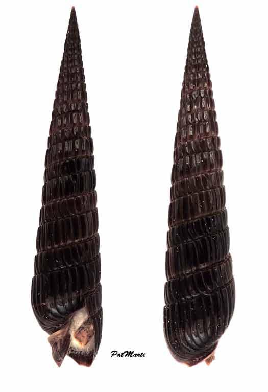 Duplicaria duplicata - (Linnaeus, 1758) Duplic11