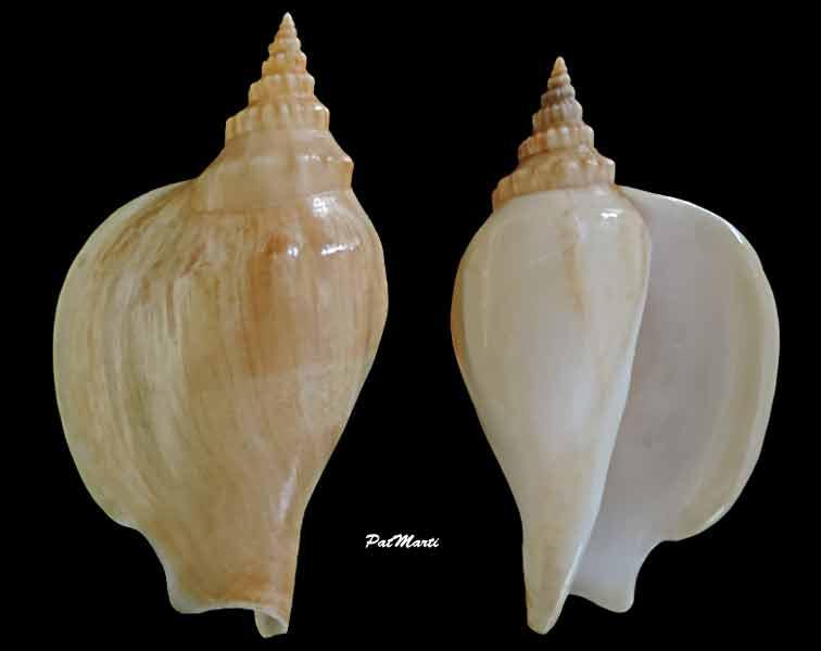 Strombidae Labiostrombus epidromis - (Linnaeus, 1758) Labios11