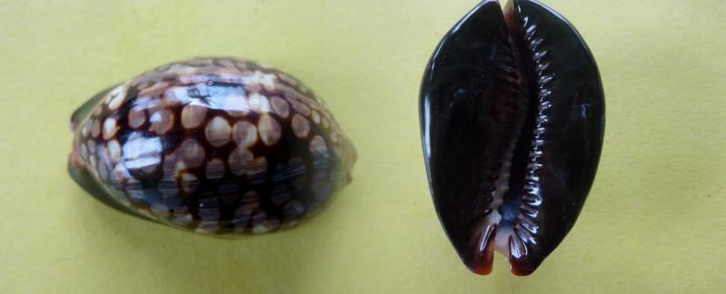 Mauritia mauritiana - (Linnaeus, 1758) Maurit10