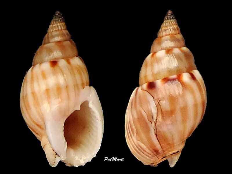 nassariidae de Nlle Calédonie à identifier SVP! Nassar10