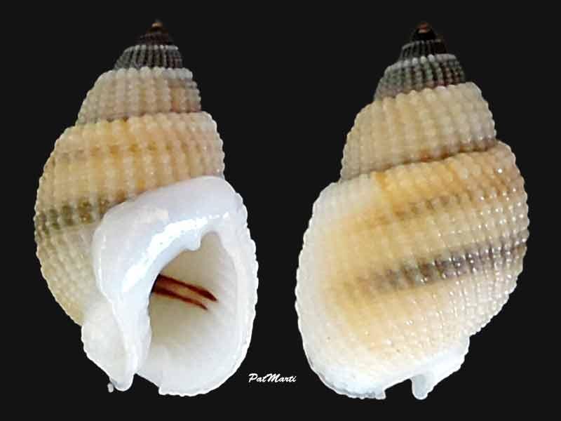 Nassarius albascens - (Dunker, 1846) Nassar12