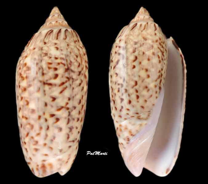 Americoliva violacea (Marrat, 1867) Oliva-11