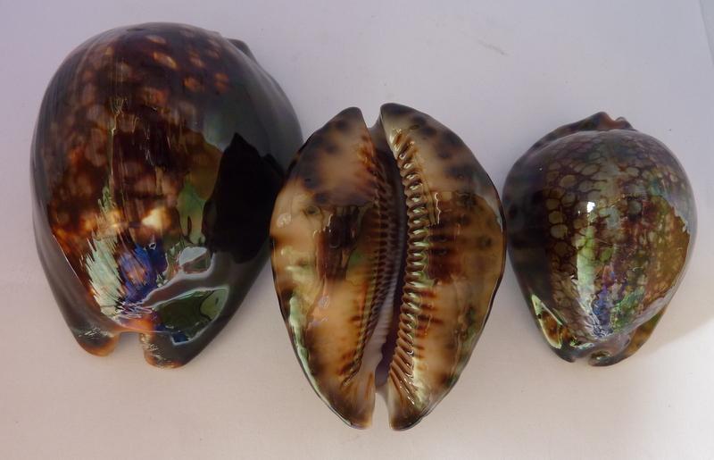 Mauritia mauritiana - (Linnaeus, 1758) P1120110