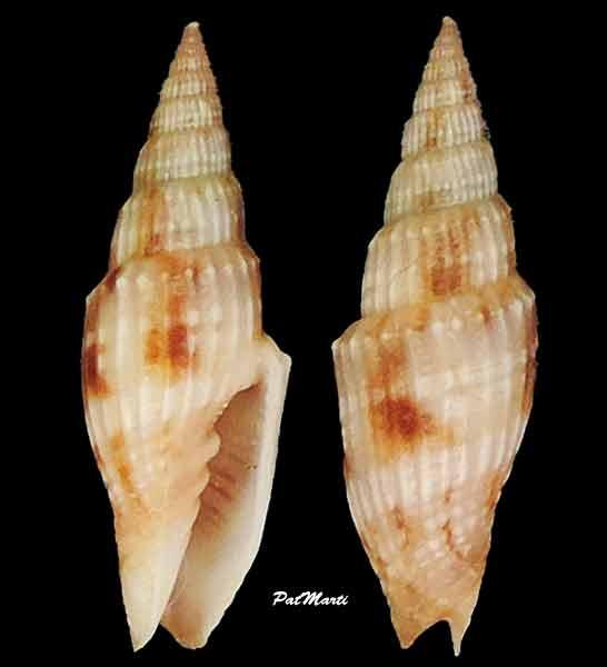 Vexillum obtusispinosum - (Sowerby, 1874) Vexill12
