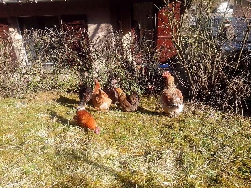 Les poules de VitamineSeb Img_2010