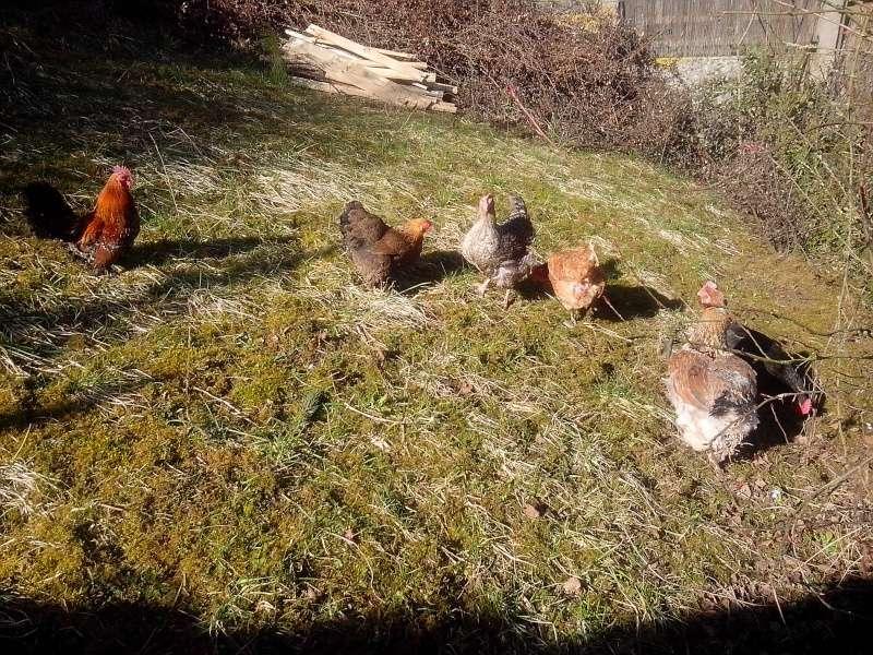 Les poules de VitamineSeb Img_2011