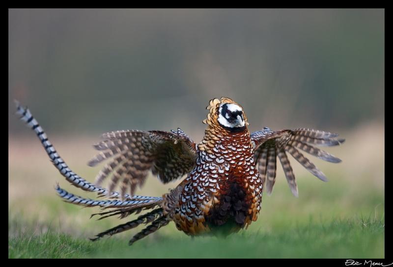 Le faisan, simplement oiseau ou messager ? Faisan10