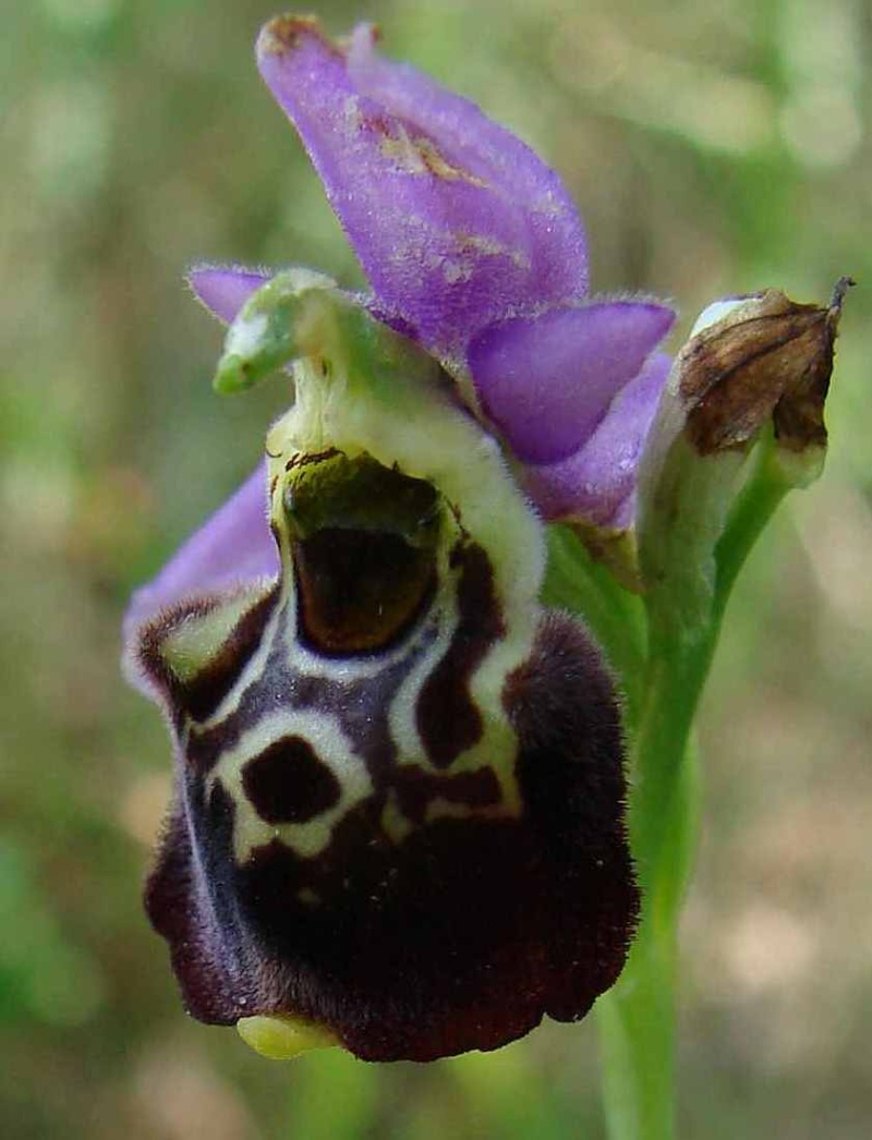 Ophrys fuciflora Ophrys14