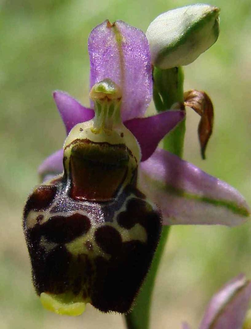 Ophrys fuciflora Ophrys15
