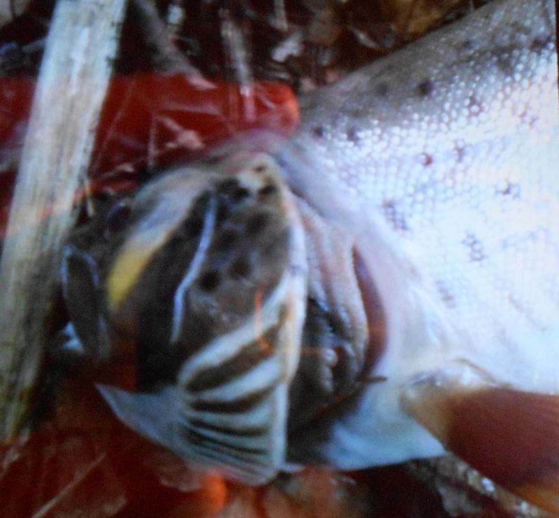 Grosse mortalité de truite en ruisseau !!! Dscn6711
