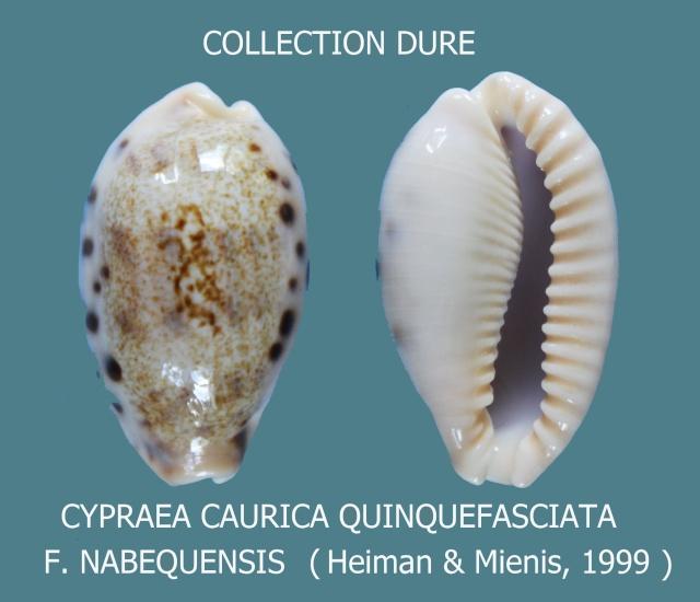Erronea caurica quinquefasciata - (Röding, 1798)  Cauric10