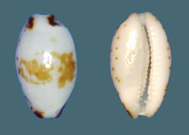 Bistolida fuscomaculata - (Pease, 1865) Panor101