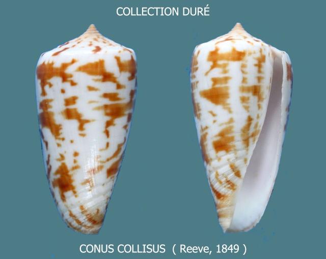 Conus (Phasmoconus) collisus  Reeve, 1849 Panor103