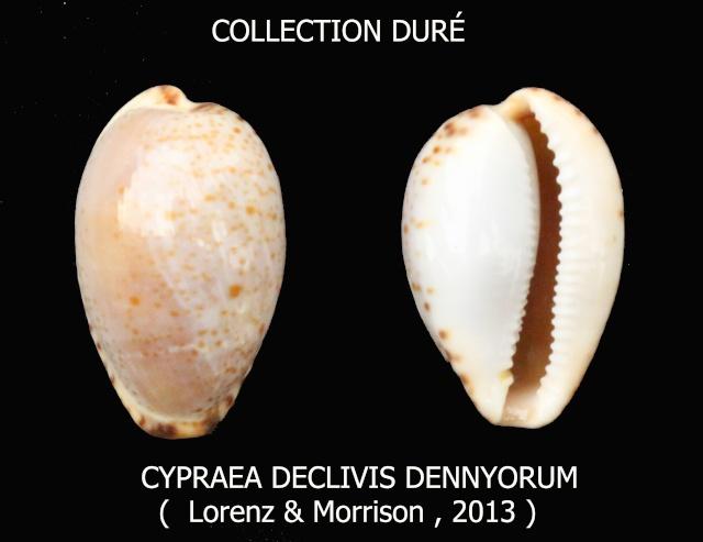 Notocypraea declivis dennyorum - Lorenz & Morrison, 2013 Panora12