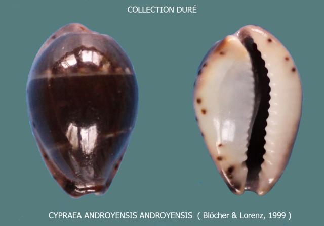 Palmadusta androyensis androyensis - Blöcher & Lorenz, 1999 Panora16