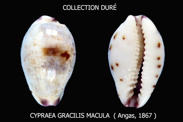 Purpuradusta gracilis macula - (Angas, 1867) Panora17