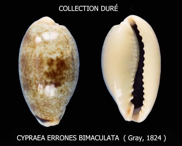 Erronea errones bimaculata - (Gray, 1824) Panora26