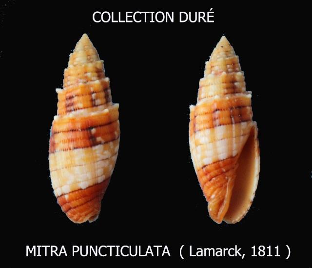 Quasimitra puncticulata - (Lamarck, 1811)  Panora28