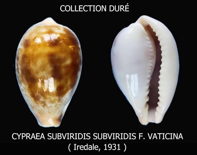 Erronea subviridis vaticina - (Irédale 1931) Panora30