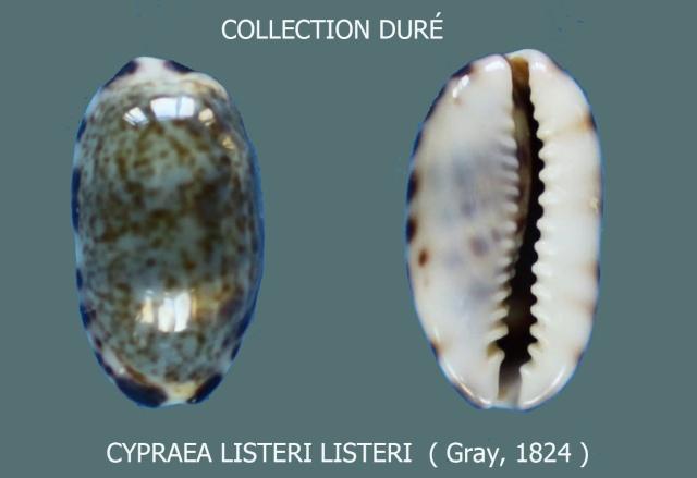 Melicerona listeri - (Gray, 1824) Panora34