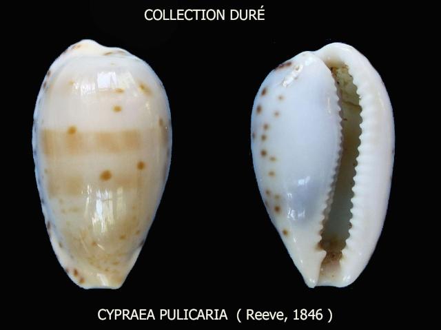 Notocypraea pulicaria - (Reeve, 1846) Panora40