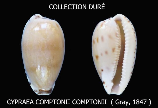 Notocypraea comptonii - (Gray, 1847) Panora41