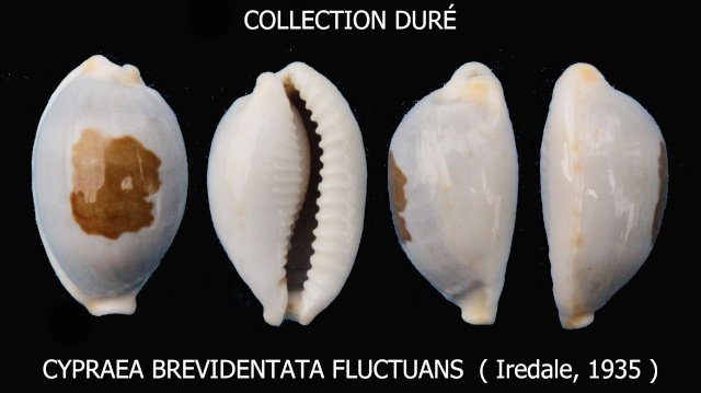 Bistolida brevidentata fluctuans - (Iredale, 1935) Panora52