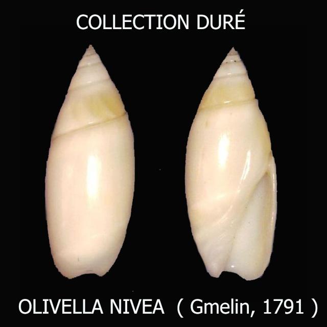 Olivella nivea - (Gmelin, 1791) Panora57