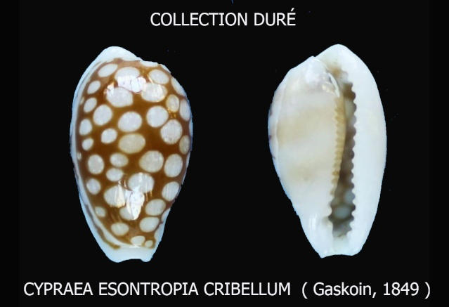 Cribrarula esontropia cribellum - (Gaskoin, 1849) Panora58