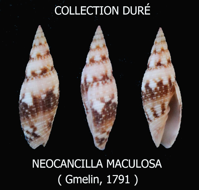 Neocancilla maculosa - (Gmelin, 1791) Panora69