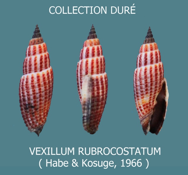 Vexillum rubrocostatum - Habe & Kosuge, 1966 Panora70