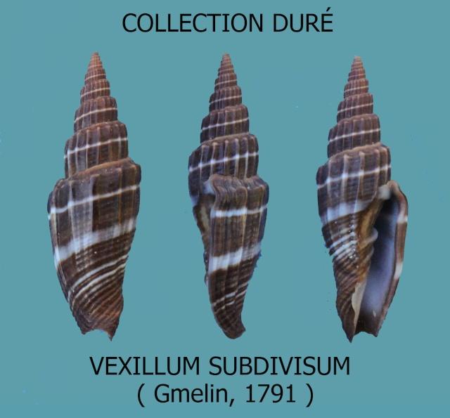 Vexillum subdivisum - (Gmelin, 1791) Panora71
