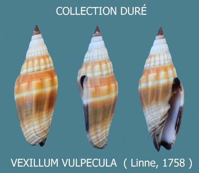 Vexillum vulpecula - (Linnaeus, 1758) - Page 3 Panora73