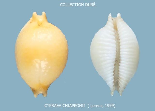 Pustularia chiapponii - Lorenz, 1999 Panora75