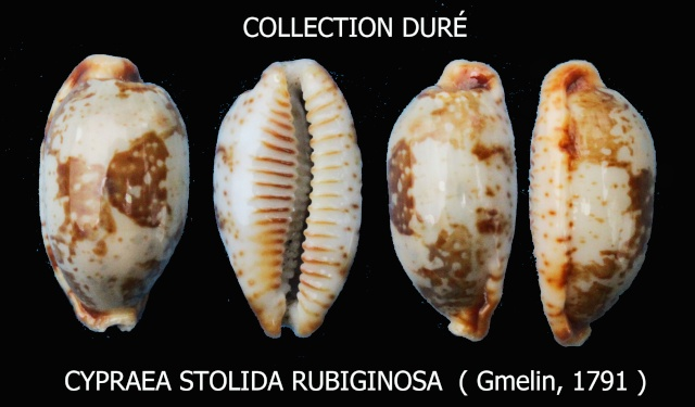 Bistolida stolida rubiginosa - (Gmelin, 1791) Panora78