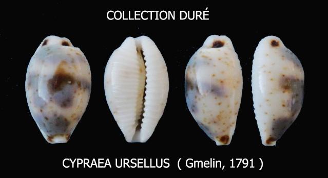 Bistolida ursellus - (Gmelin, 1791) Panora79