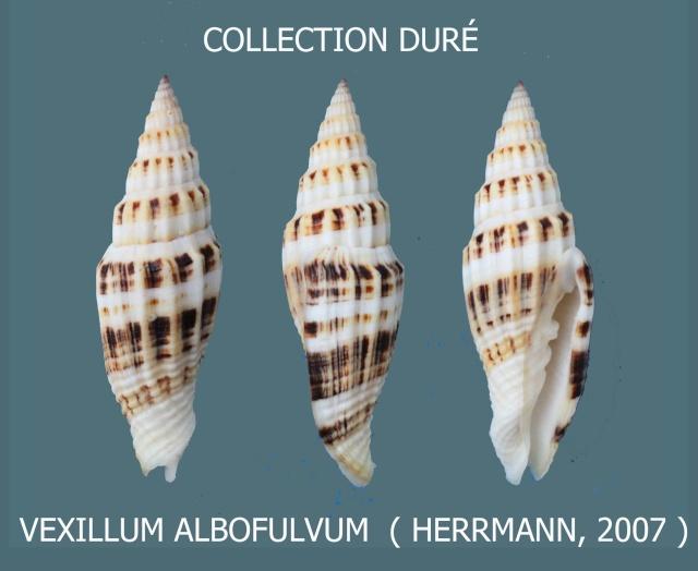 Vexillum albofulvum - Hermann, 2007 Panora96