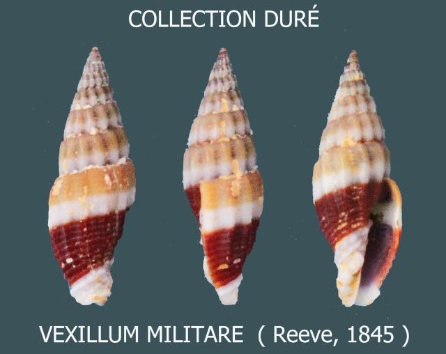 Vexillum militare - (Reeve, 1845)  Panora97