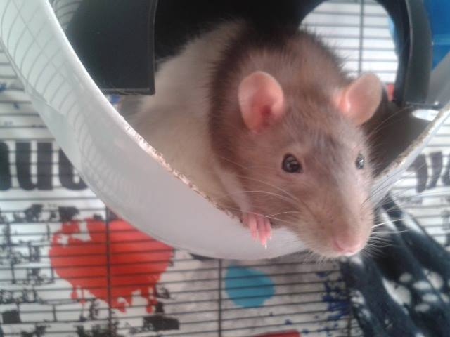 de retour chez les ratouphiles , voila mes princesses  10689711
