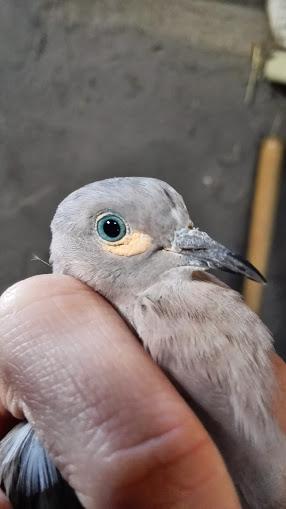 Différences entre les yeux (M. melanoptera). Img_2011