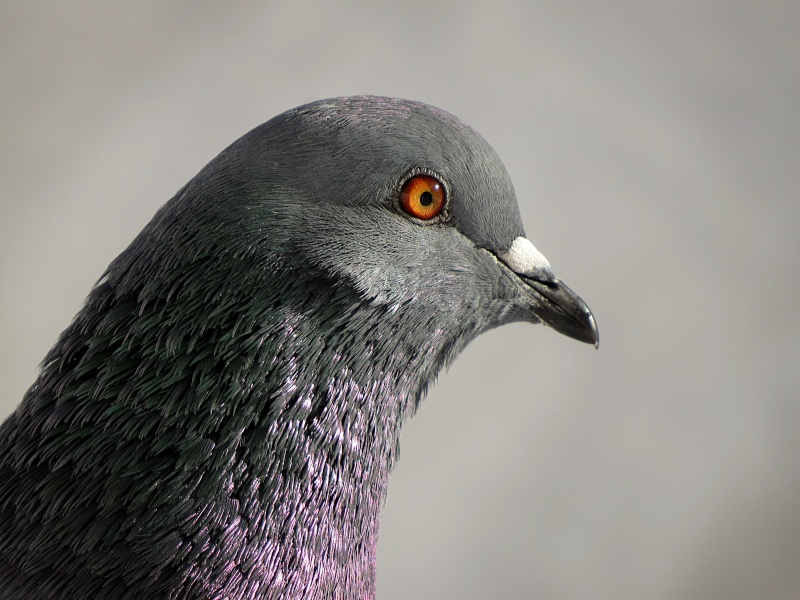 Pigeon Pigeon11