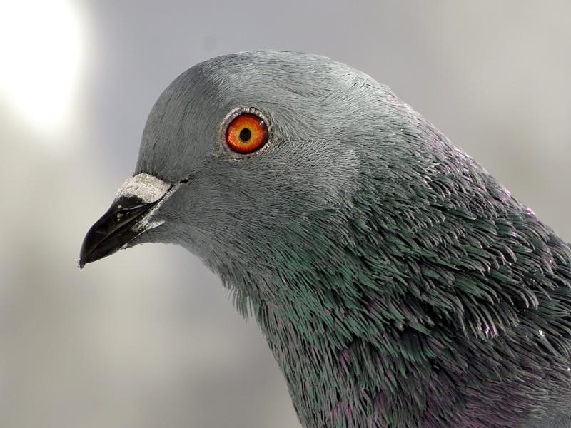 Pigeon Pigeon12