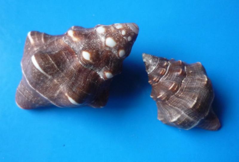 Leucozonia nassa - (Gmelin, 1791) Leucoz11