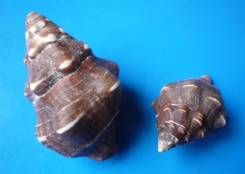Leucozonia nassa - (Gmelin, 1791) Leucoz12