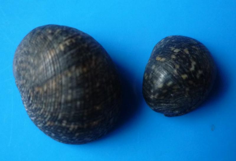 Nerita argus - Récluz, 1841 Nerita16