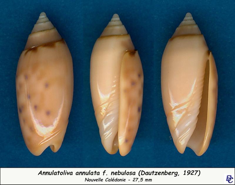 Annulatoliva annulata nebulosa (Dautzenberg, 1927) voir Annulatoliva annulata (Röding, 1798) Annula11