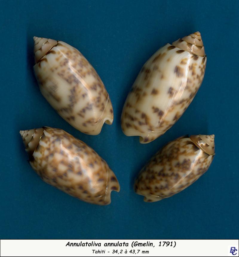 Annulatoliva annulata (Gmelin, 1791) Annula12